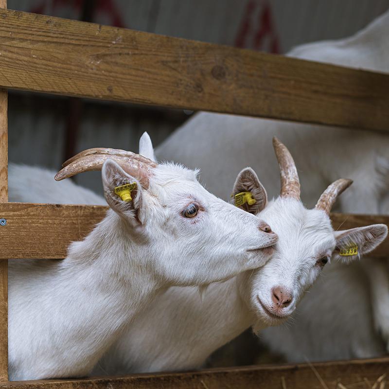Copenhagen Goat Milk hvide geder hygger sig i indhegning