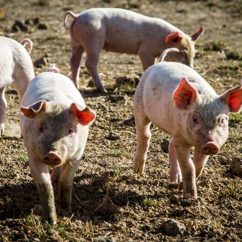 Gris, Lam & Co slagter glade grise på mark med solskin