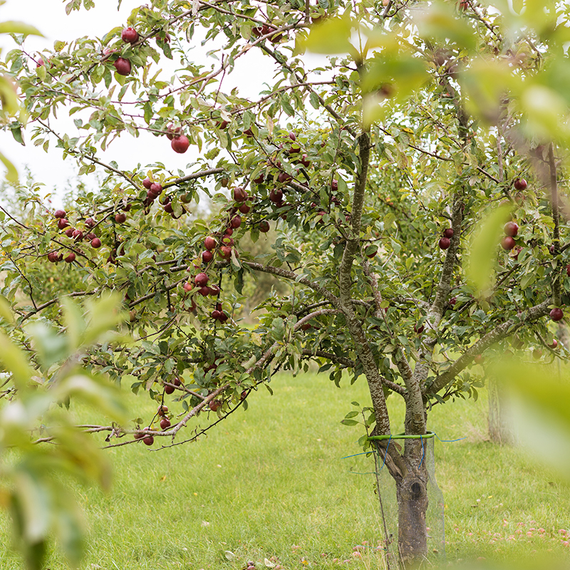 Snoremark Mjødbryggeri æbletræer med røde æbler